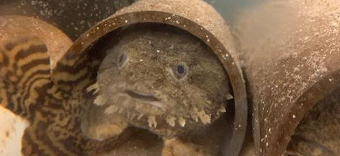 Toadfish from the Marine Science Summer Institute